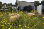 Sheep on the biodiversity roof, overlooking the campus