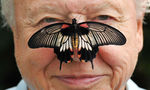 Butterfly Conservation's president, David Attenborough, with a south-east Asian great mormon butterfly on his nose, as he launches the Big Butterfly Count. Photograph: John Stillwell/PA