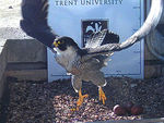 Peregrine Falcon nest on top of NTU's Newton Building in City Centre